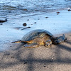 This turtle had finished napping and was thinking about heading back into the water to feed.