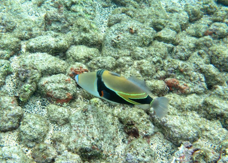 Humuhumunukunukuapua'a, the state fish of Hawaii (it's a trigger fish).