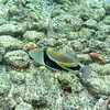 Humuhumunukunukuapua'a, the state fish of Hawaii (it's a trigger fish).