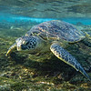 """Probably the best """"snorkeling with turtle"""" photo I've ever taken"""