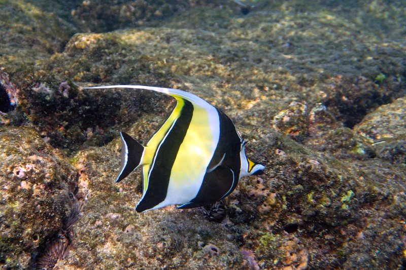 Moorish idol.  To me, this is the most beautiful fish in the sea.