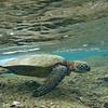 Green sea turtle.