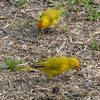 A pair of Canaries always hung out at the breakfast cafe'.