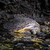 A sea turtle basks in the sun in a tidepool along the beach walk.