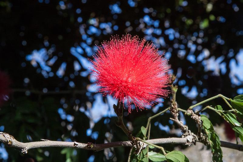 Pink Powderpuff,  also known as lehua haole.
