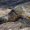 10-22-04 KONA TURTLES_0017