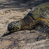 10-22-04 KONA TURTLES_0012