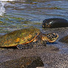 10-22-04 KONA TURTLES_0004