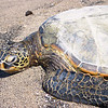 10-22-04 KONA TURTLES_0054