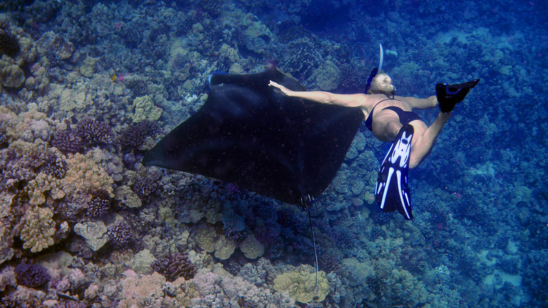 """Our boat captain had heard there was action at a nearby manta ray """"cleaning station"""".  Unfortunately, that's not me in the bikini free diving to about 40 feet without visible effort."""
