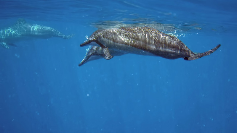 Next up the following morning was a snorkel with Hawaiian spinner dolphins.  These dolphins rest in shallow coastal bays during the day and move into deep water to hunt at night.