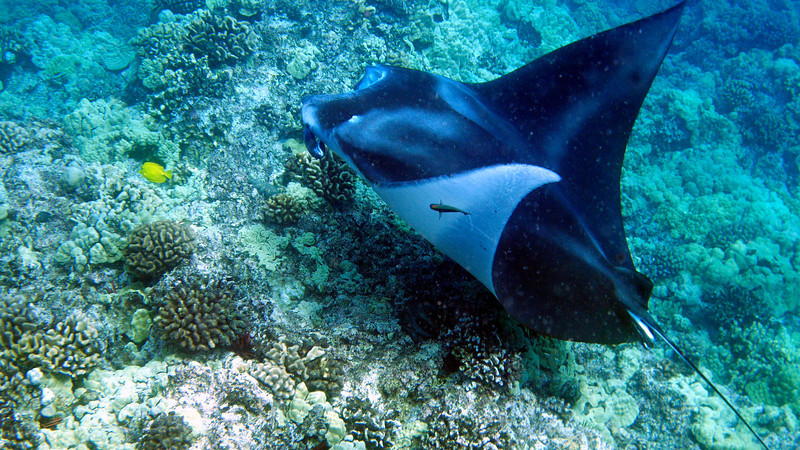 A young male manta was getting serviced at a manta cleaning station.  The manta swims very slow, tight circles as small fish pick parasites off its body.  Perfect example of a symbiotic relationship often seen in oceans.