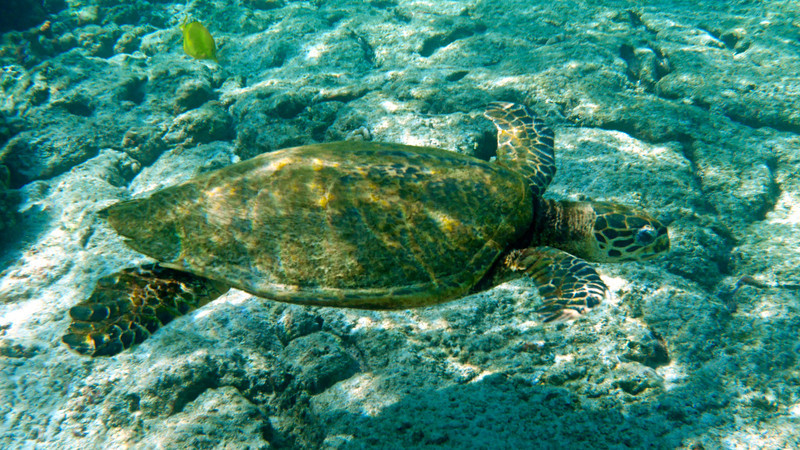 At sunrise the following morning, I headed off to my favorite snorkel spot on the Big Island, Kahalu'u Beach.  It's a state park and therefore draws lots of people, but in the early morning it's a paradise.  Only 2 people were in the water when I arrived. It didn't take long to find this green sea turtle doing what the manta had done the day before.
