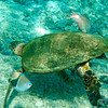 The turtles actually come to a halt, allowing the small fish access to their entire bodies.