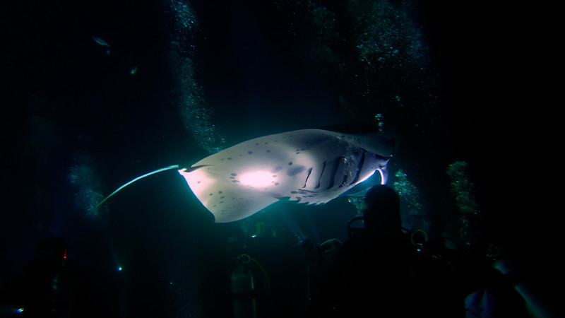 """Night dive with manta rays.  This is an absolutely awesome experience.  Divers gather on the bottom and shine bright lights which attract plankton.  Plankton attracts mantas.  During my dive,  8 mantas showed up, including the 3 largest ones swimming in these waters.  Females are much bigger than males. The largest female of all is """"Big Bertha"""" with a wingspan of 16 feet.  She's estimated to be between 60 and 70 years of age and she's still breeding.  Big Bertha took a liking to my video light and repeatedly grazed my head as she swooped in over me."""