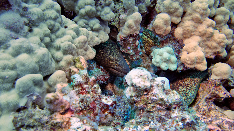 First of 2 moray eels.