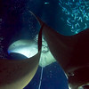 Mantas are solitary animals, but they make an exception when food is in such abundance.  In situations such as this, mantas are totally focused on feeding, which leads to frequent collisions amongst themselves and with divers.