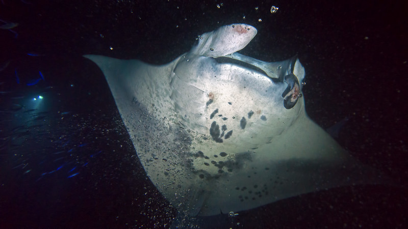Humans and climate change are the biggest threats to mantas.  They're hunted for terrible reasons, and often injured by encounters with boats.  This manta has a mandible injury, but it won't impede its ability to feed.  Lefty, another manta with just one functioning mandible, often comes to the Kona manta buffet.  She was first identified on June 1, 1979!!  Clearly, she's done well.
