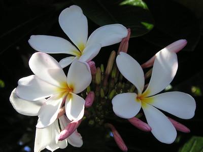 Hawaii Travel Photography - Kona - Plumeria