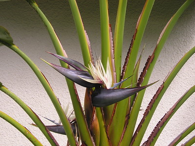 Hawaii Travel Photography - Kona - Bird of Paradise