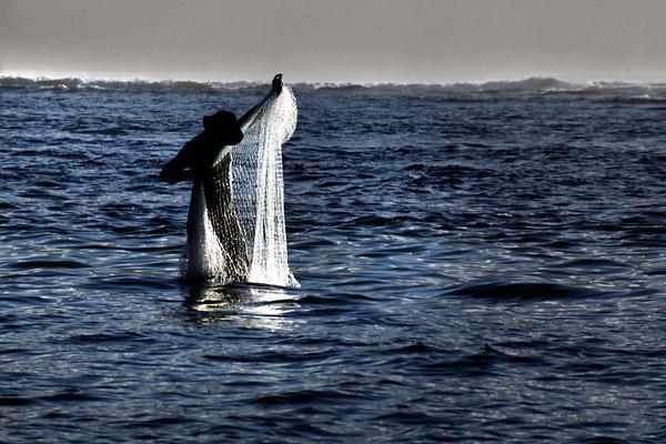 Hanalei Net Fisherman