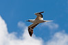 Red-footed Booby, Kilauea National Wildlife Refuge,