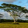 The graceful Acacia Trees on Kauai are apparently native to Hawaii.