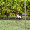 Roosters are EVERYWHERE!