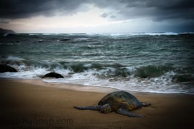Sea Turtle Resting on the Beach