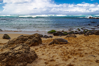 A Hawaiian Green sea turtle lounging in the sand