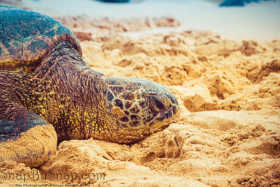 A close up of a Hawaiian Green sea turtle lounging in the sand