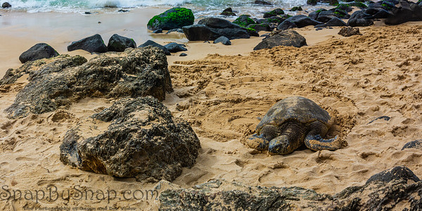 A panorama of a Hawaiian Green sea turtle lounging in the sand