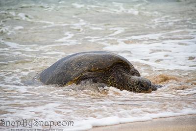 Waves Splattering on a Hawaiian Green Sea Turtle