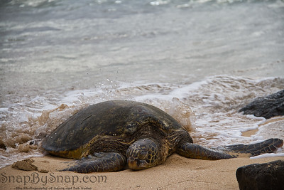 Waves Splattering on a Hawaiian Green Sea Turtle