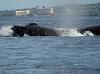 Maui 2013_Whales 188