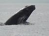 Maui 2013_Whales 148