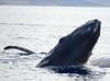 Maui 2013_Whales 159