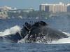 Maui 2013_Whales 203