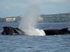 Maui 2013_Whales 187