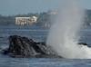 Maui 2013_Whales 186