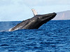 Maui Whales_2019 018