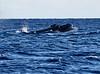 Maui Whales_2019 003