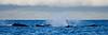 Maui Whales_2019 002