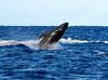 Maui Whales_2019 021