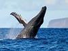 Maui Whales_2019 014