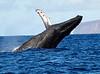 Maui Whales_2019 017