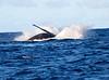 Maui Whales_2019 009