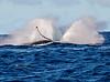 Maui Whales_2019 011