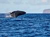 Maui Whales_2019 008