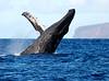 Maui Whales_2019 015